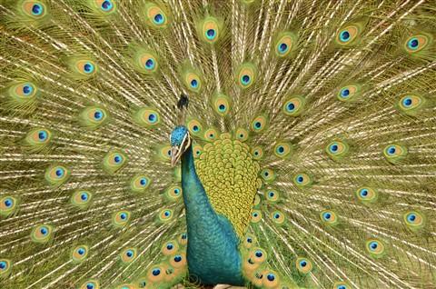 Peacock in Malaysia