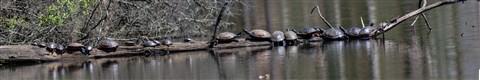 Lake-Oberst-Turtles