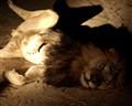 Awakened Lion