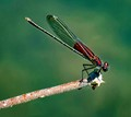 Dragon Fly Resting
