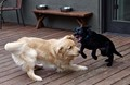 Cooper and Blue play fighting.