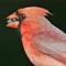 Cardinal 1600