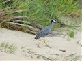 Heron running on beach