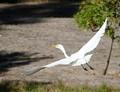 Graceful Egret