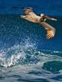 Brown Pelican Skimming Above Breaking Waves