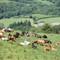 Upland beef herd