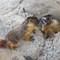 juv marmot sibs small