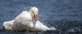 Snow goose splashing in the park