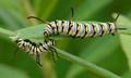 Queen Caterpillars