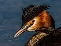 Great crested grebe. Adda river, Northern Italy