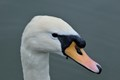 Close up photo of a swan