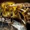 Honey Bee-022350