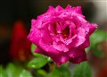 Dinghy Garden Rose