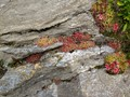 sempervivum montanum - berghuislook