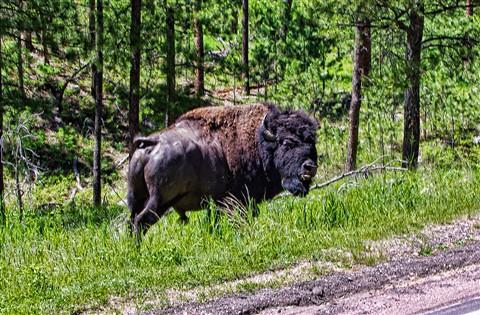 big-bison4