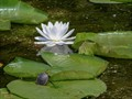 Baby Turtle Hiding on Lilly Pad