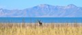 The main subject (pronghorn) very small, and centered, and the horizon line of the water is centered as well.