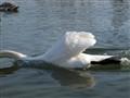 headless swan