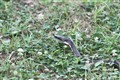 Snake 054