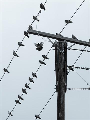 m_Pigeons 002