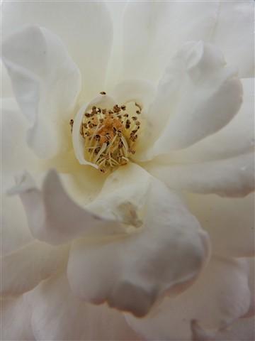 Soft white 1