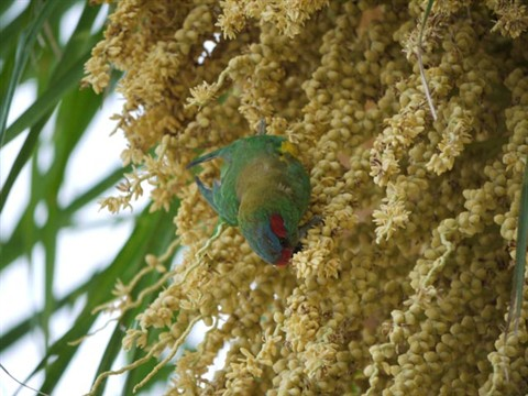 lorikeet feb 2012 (3)