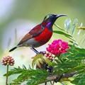 Purple-throated Sunbird - Leptocoma sperata
