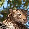Leopard in Chobe National Park in Botswana