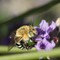 Blue Banded Bee: Blue Banded Bee
