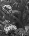 B&W Flowers Before the Sun