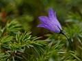 Bluebell wildflower