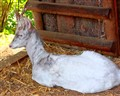 "Albino deer ""Bino"" was born in 1998 in the wild."