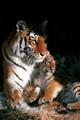 Tiger and Cub.