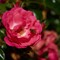 OMD-Fr-Small-Rose