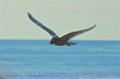 Sea Gull brings home dinner found on the beach.