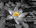 Water Lily in White, Black, and Yellow