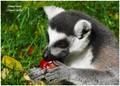 Lemur catta (ZOO Zlín - Štípa, Czech Republic)