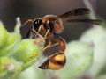 Black-and-Yellow Mud Dauber