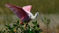spooneated rosebill