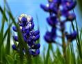 bluebonnets_DSC2328 1600