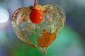 Heart of nature: Physalis alkekengi