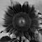 UV Sunflower