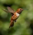 Returning Rufous Hummingbird