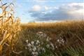 milkweed in maze