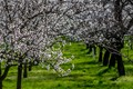 apricot blossoms in the wachau / lower austria