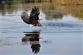 African Fish Eagle. Okovango River.