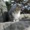 SnowLeopardSharp1600_Zoo_0253