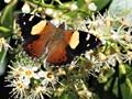 Australian admiral butterfly on flower