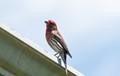 A proud male Finch