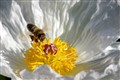 Bee and Prickly Poppy